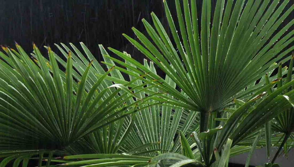 indoor-palm-tree-care-1021x580